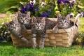 Картинка трава, корзина, котята