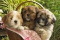 Картинка Щенки, корзинка, малыши, собаки