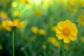 Картинка цветы, космея, фон, желтые
