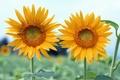Картинка обои, листья, пара, лепестки, поле, стебель, небо, подсолнухи