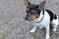 Картинка Датско-шведская фермерская собака, щенок, собака