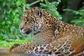 Картинка ягуар, хищник, морда, дикая кошка, panthera onca