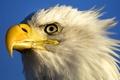 Картинка Орел, птица, небо, глаза