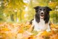 Картинка собака, осень, листья