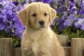 Картинка цветы, лабладор, щенок