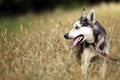 Картинка собака, поле, друг