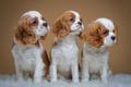 Картинка трио, спаниели, пятнистые, щенки