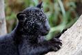 Картинка Panthera onca, когти, хищник, детеныш, ягуар