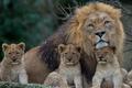 Картинка грива, львы, львята, детёныши, отцовство, лев, котята