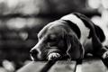 Картинка печаль, Собака, скука
