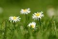 Картинка размытость, лепестки, трава, белые, маргаритки