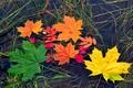 Картинка цвет, вода, осень, листья, клен