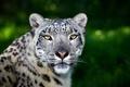 Картинка кошка, дикая, хищник, зелень, барс, морда