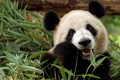 Картинка бамбук, медведь, китай, панда