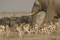 Картинка животные, стадо, Национальный парк Этоша, слон, антилопы, саванна