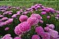 Картинка цветы, розовые, хризантемы