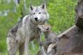 Картинка Волчья, семья, лес
