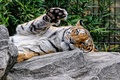 Картинка кошка, тигр, отдых, камень, лапа, амурский