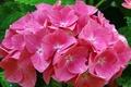 Картинка розовая, Гортензия, соцветие