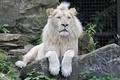 Картинка кошка, камень, белый лев