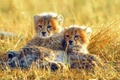 Картинка трава, маленькие, африка, гипарды