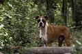 Картинка лес, взгляд, собака