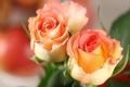 Картинка две, розы, оранжевые, Roses