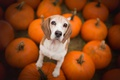 Картинка собака, тыквы, бигль