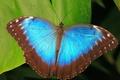 Картинка Бабочка, листья, синий