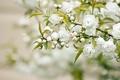 Картинка белые цветы, лепестки, ветка, листья