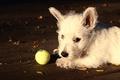 Картинка осень, мордашка, листья, белый, освещение, даски, щенок, мячик, собака, мяч, взгляд, портрет