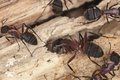 Картинка insects, ants, wood