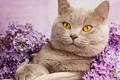 Картинка кошка, кот, портрет, сирень, Британская короткошёрстная