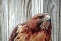 Картинка портрет, взгляд, хищник, ястреб, краснохвостый сарыч, канюк, птица, Buteo jamaicensis, Red-tailed hawk