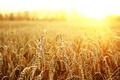 Картинка солнце, макро, пшеница, поле