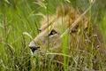 Картинка взгляд, хищник, трава, лев