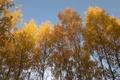 Картинка осень, березы, осенний лес
