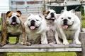 Картинка фон, собаки, Bulldog
