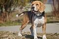 Картинка собака, взгляд, бигль