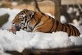Картинка язык, кошка, снег, тигр, умывание, амурский