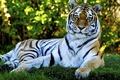 Картинка взгляд, тигр, отдыхает
