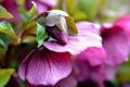Картинка размытость, розовый, бутон, цветок, листья