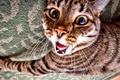 Картинка полосатый кот, Котяра, зевака