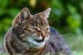 Картинка кошка, усы, полосатый, морда, клыки, зелень, злой, трава, кот