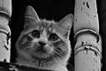 Картинка кошка, взгляд, усы, морда, глаза, черно-белые