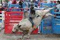 Картинка спорт, Small town rodeo, бык