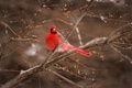 Картинка кардинал, ветки, птица, красный