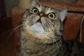 Картинка желтоглазый, взгляд, кот, полосатый