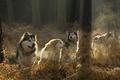 Картинка Собаки, лес, солнце