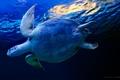 Картинка Черепаха, вода, синий